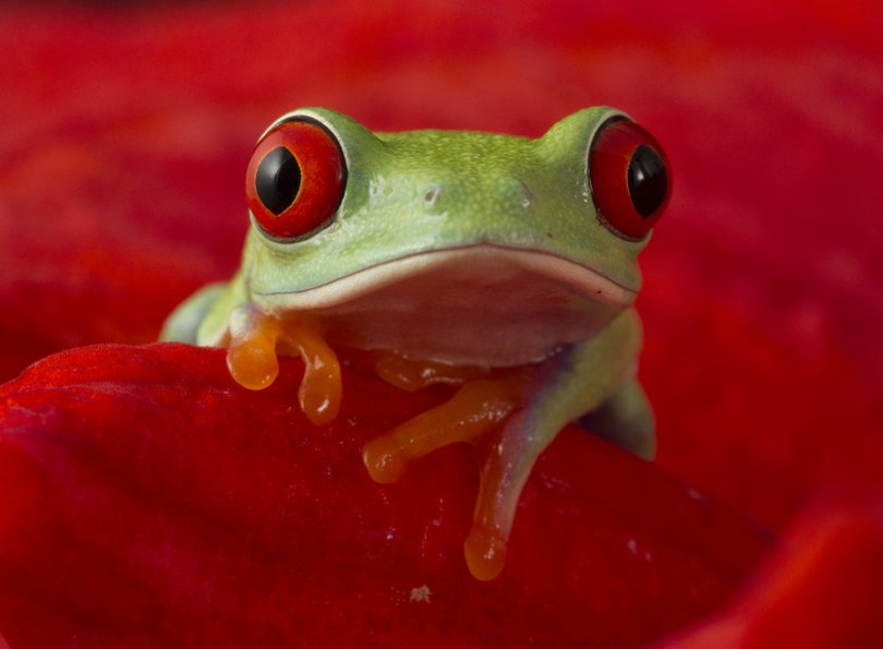 cute_red_eyed_tree_frog_by_anginelson-d5lzkh7