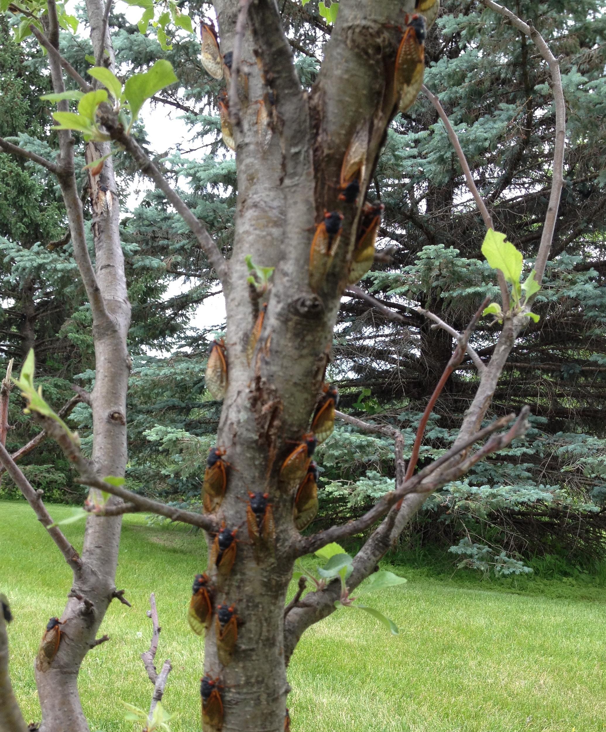 swarm of cicadas on our tree
