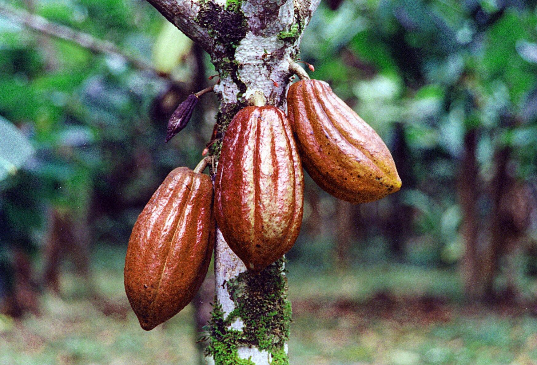 cocoa-pod